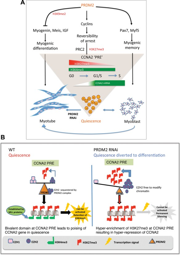 Model showing PRDM2 as a master regulator of quiescence—regulation of CCNA2 poising in reversible arrest via PRC2 dependent bivalent domain. ( A ) PRDM2 choreographs a genome-wide program to keep quiescent cells in a poised state by repressing myogenic networks to prevent differentiation (left), inducing/maintaining myogenic specification factors (right) and preserving reversibility of the cell cycle program via control of balanced methylation at a newly defined element in CCNA2 intron (center). Knockdown of PRDM2 subverts the quiescence program towards differentiation-coupled irreversible arrest. ( B ) PRDM2 prevents PRC2-mediated silencing of CCNA2 by sequestering EZH2 and preventing H3K27me3 accumulation at the CCNA2 PRE-like element. Thereby, G 0 cells are held in suspended animation, poised to return to active proliferation, with a subsequent option to differentiate if conditions are conducive. PRDM2 knockdown permits EZH2 to accumulate at the PRE, leading to increased H3K27me3, silencing CCNA2 and diverting quiescence toward differentiation.