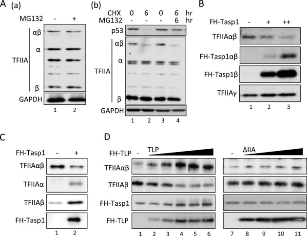 Inhibition of Taspae1-mediated processing of the TFIIAαβ precursor by TLP. ( A ) Effect of MG132 on TFIIA proteins. HCT116 cells were treated with MG132 and CHX for the indicated time, and the amount of TFIIA protein was determined. ( B ) Effect of overexpressed Taspase1 on the endogenous TFIIAαβ precursor. HCT116 cells were transfected with expression plasmids of FH-Taspase1, and the amount of the TFIIAαβ precursor was determined. ( C ) Taspase1-mediated processing of the TFIIAαβ precursor in vitro . Five nanograms of purified recombinant TFIIAαβ was mixed with 20 ng of purified recombinant FH-Taspase1 and incubated at 37°C for 1.5 h, and proteins were detected by Western blotting. Effect of TLP on Taspase1-mediated processing of the TFIIAαβ precursor in vitro . Twelve nanograms of TFIIAαβ and 6 ng of TFIIAγ were incubated with 50 to 200 ng of TLP or ΔIIA mutant protein at 37°C for 1 h. Fifty nanograms of FH-Taspase1 was then added to the mixture and incubated for 1.5 h.