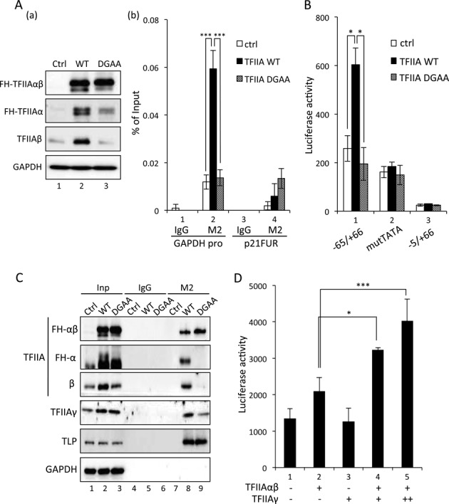 In vivo function of mature TFIIAα and TFIIAβ. ( A ) Chromatin binding of TFIIAαβ. Wild-type FH-TFIIAαβ (WT) and FH-DGAA (DGAA) were introduced into HeLa cells. Processing of wild-type TFIIAαβ was checked by Western blotting (a). Amounts of chromatin-bound exogenous FH-TFIIAαβ and FH-DGAA were determined by ChIP using M2 Agarose beads. ChIP enrichment at the TATA box-containing GAPDH promoter (GAPDH pro) and control DNA region (p21FUR) was determined by qPCR (b). Ctrl indicates control. ( B ) Activation of TATA promoter. Wild-type FH-TFIIAαβ and FH-DGAA were introduced into HeLa cells together with indicated p21 reporter constructs, and the luciferase activity was determined. ( C ) Affinity of TFIIAαβ to its interacting proteins. Exogenously expressed FH-TFIIAαβ and FH-DGAA were immunoprecipitated with M2 Agarose beads, and co-precipitated TLP and TFIIAγ were detected. Inp: input. ( D ) A dose-responsive effect of TFIIAγ on TATA promoter activation. Indicated combinations of TFIIAs were introduced into HCT116 cells together with p21-65/GL4 reporter plasmid, and luciferase activity was determined. For dose-dependent analysis, 100 ng (+) or 200 ng (++) of TFIIAγ expression plasmid was used.
