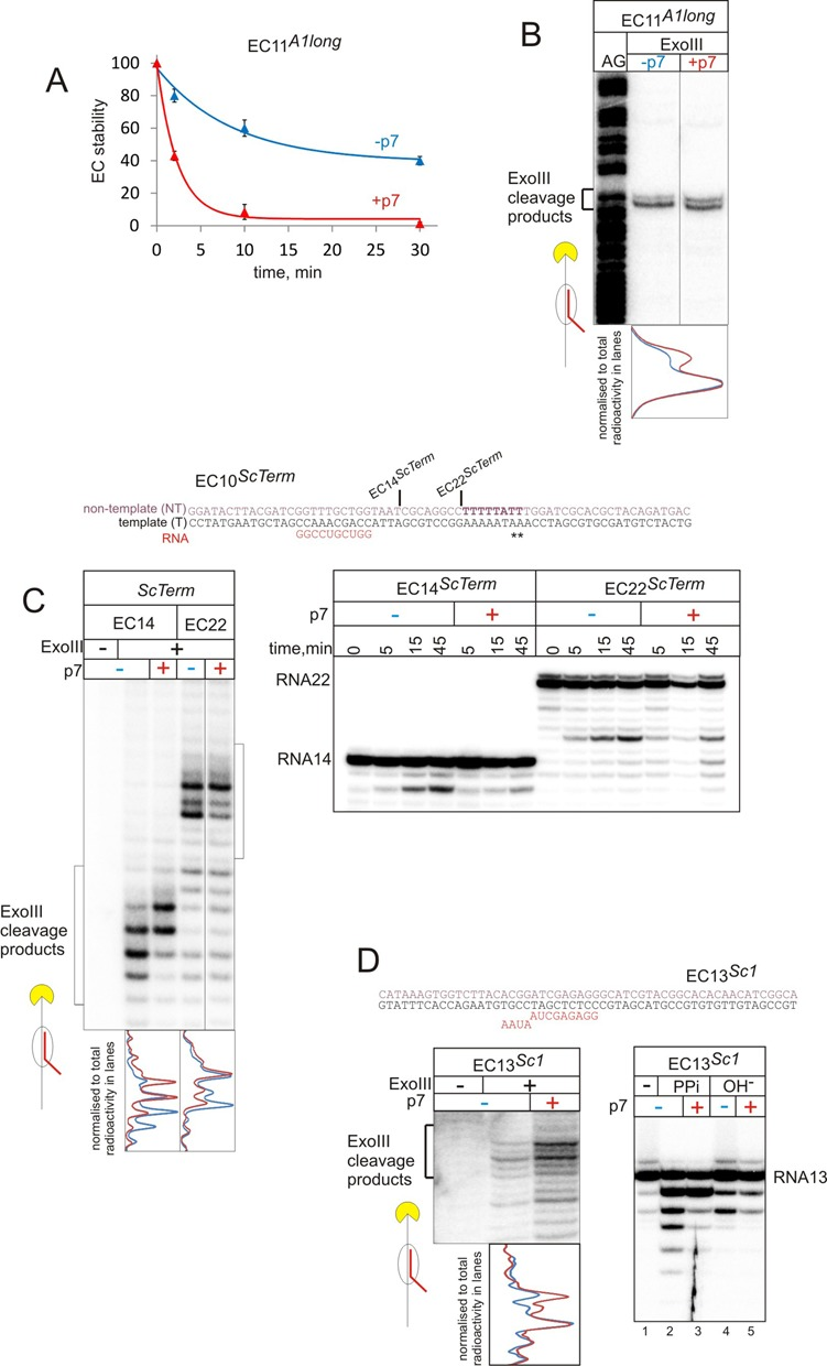 p7 destabilizes ECs and favours forward translocation of RNAP. ( A ) Stability of elongation complex with 11 nt-long transcript (EC11 A1long ) on A1long (see also Supplementary Figure S2 for stability of EC20 A1long ) After incubation in TB with 1M KCl in the absence (blue plot) or the presence of p7 (red plot) for the indicated periods of time, fractions of the ECs that remained on the beads after washing were measured. Data are mean and error bars are standard deviation from two independent experiments. ( B ) ExoIII footprinting of the front edge of RNAP in the EC11 A1long formed on A1long template. Superimposed densitometry profiles of the lanes without p7 (blue) and with p7 (red) are shown below the gels. Here and after, profiles are normalized to total radioactivity in each lane. ( C ) ExoIII footprinting of the front edge of RNAP and kinetics of the intrinsic transcript hydrolysis in the absence or the presence of p7, in EC14 ScTerm and EC22 ScTerm formed on scaffold ScTerm . Superimposed densitometry profiles of the ExoIII footprinting without p7 (blue) and with p7 (red) are shown below the gels. Lesser signal in 15 min lane with p7 is due to loading defect. ( D ) ExoIII footprinting of the front edge of RNAP, intrinsic hydrolysis (30 min) and pyrophosphorolysis (10 min) in the absence or presence of p7, in EC13 Sc1 formed on scaffold Sc1 . Superimposed densitometry profiles of the Exo III footprinting without p7 (blue) and with p7 (red) are shown below the gels.