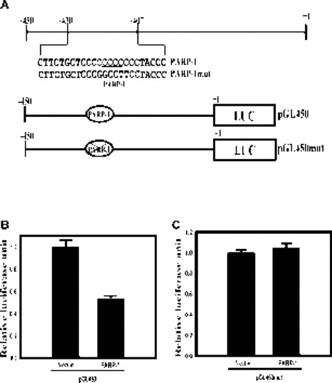 PARP-1 represses the proximal promoter of the mouse MOR gene. (A) Schematic representations of the mouse MOR proximal promoter region (the PARP-1 -binding motif is underlined), the pGL450 (wild-type) promoter construct and the pGL450mut construct (containing a mutated PARP-1 binding site). The 'X' in the filled ovals indicates the mutation, which includes the PARP-1 binding site and its flanking sequence. Nucleotide +1 corresponds to the translation start site (ATG). (B, C) Neuronal NS20Y cells endogenously expressing the MOR gene were co-transfected with 2 pg of the PARP-1 constructs and 1 pg of the MOR-promoter luciferase-reporter constructs, pGL450 and pGL450mut. The activities of the luciferase reporter were expressed as n-fold relative to the activity of each corresponding luciferase reporter transfected with vector alone, which was assigned an activity value of 1.0. Transfection efficiencies were normalized by β-galactosidase activity. The data shown are the mean and standard errors of three independent experiments with at least two different plasmid preparations.
