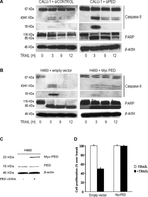 Effects of PED on caspase activation. (A) CALU-1 cells were transfected with PED or control siRNA for 72 hrs and then treated with superkiller TRAIL for the indicated times. Lysates were examined by Western blotting with anti-caspase 8 or anti-PARP antibodies. Cleavage of caspase 8 and PARP was detected at a greater amount in CALU-1 cells transfected with PED siRNA. β-Actin was used as the loading control. (B) PED cDNA (PED-Myc) was transiently transfected in H460 cells and cells were analysed for caspase 8 and PARP activation as previously described or for or for cell viability (D) as indicated. (C) Western blot analysis of PED expression revealed that transfection increased PED expression levels in H460 cells. β-Actin was used as the loading control. Representative blots are shown.