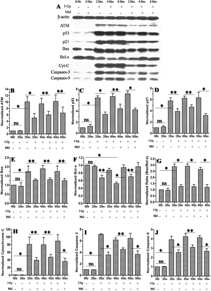 Effect of melatonin pre-treatment on anti and pro-apoptotic proteins expression of testes in mice exposed to whole-body 60 Co γ-irradiation. Western blot was performed to measured both the anti (ATM, p53, p21, Bax, Bcl-x, cytochrome C, active caspases-3 and caspases-9 proteins) and pro (Bcl-xL)-apoptotic proteins expression after 2h, 4h and 8h post-irradiation. The β-actin protein was used as loading control. * p