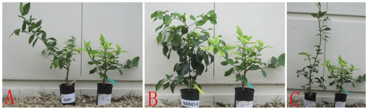 HLB-affected citrus treated by nano-formulations. ( A ): Amp (left) vs. tap water (CK) (right); ( B ): Nano-1-Amp+Brij 35 (left) vs. tap water (CK) (right); ( C ): Nano-2-Amp+Brij 35 (left) vs. tap water (CK) (right).