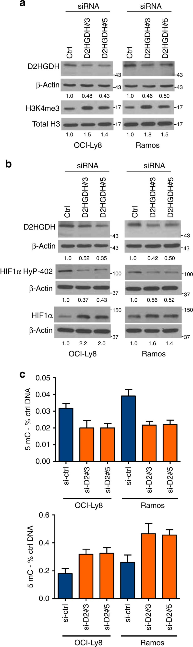 Partial knockdown of D2HGDH in B-cell lymphoma cell lines significantly modifies histone/DNA methylation and HIF1α hydroxylation. ( a ) SiRNA-mediated partial knockdown of D2HGDH with two targeting oligonucleotides increased the methylation levels of H3K4me3 in comparison with cells transfected with a control siRNA. ( b ) Under hypoxia (1% O 2 , 16 h), B lymphoma cells with partial suppression of D2HGDH expression displayed lower HIF1α hydroxylation and consequent stabilization of total HIF1α. In a and b , the extent of D2HGDH suppression is shown by western blotting and densitometry quantifies all relevant changes. ( c ) The levels of 5hmC and 5mC (top and bottom panels) were significantly lower and higher, respectively, in cells with a D2HGDH KD when compared with their isogenic controls ( P