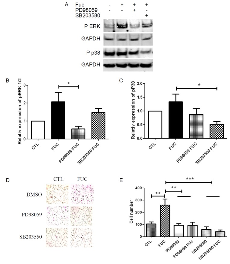 <t>ERK</t> and <t>p38</t> signaling pathway involvement in fucoidan-treated monocyte migration: ( A ) Representative Western blot illustrating phosphorylation of ERK1/2 and P38 when PBMC were treated with or without fucoidan (in the presence or absence of PD98059 or SB203580) for 30 min; ( B ) Quantitative analysis of ERK phosphorylation; ( C ) Quantitative analysis of p38 phosphorylation. Results are represented relative to the corresponding control, with with independent donors; ( D ) Representative fields showing migratory cells treated as in A; ( E ) Migratory cell numbers in five independent fields. * p