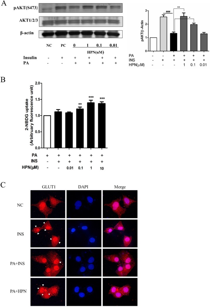 HPN improves glucose uptake ability of HepG2 cells. ( A ) Insulin-stimulated pAkt (S473) was up-regulated during HPN treatment in PA-induced HepG2 cells. HepG2 cells were serum-starved with 0.5% FFA-free BSA medium, and treated with 0.25 mM PA for 16 h after HPN incubation. Subsequently, cells were stimulated with 100 nM insulin for 30 min. Western blot assay was used to determine the changes of pAkt (S473) and total Akt. β-Actin was used as loading control. ### p