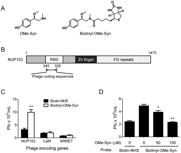 Phage display cloning to identify R -(-)-β- O -methylsynephrine binding proteins expressed by human <t>cDNA</t> libraries. (A) Chemical structures of R -(-)-β- O -methylsynephrine (OMe-Syn) and its biotinylated analog are shown. (B) Domain structure of nucleoporin 153 kDa <t>(NUP153)</t> and the phage coding region within the NUP153 RNA-binding domain (RBD) are shown. (C) The binding of NUP153-encoding phages to biotinylated OMe-Syn (biotinyl-OMe-Syn) is shown. Other candidates, including calmodulin-encoding phages (CaM) or mesencephalic astrocyte-derived neurotrophic factor precursor-encoding phages (ARMET) do not show significant binding to biotinyl-OMe-Syn. Data represent mean ± standard error from four independent experiments; ** p