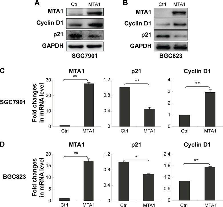 MTA1-induced upregulation of cyclin D1 and downregulation of p21. Notes: SGC7901 ( A ) and BGC823 ( B ) cells were transfected with control (Ctrl) vector and MTA1 expression vector. After 48 hours of transfection, the protein levels of cyclin D1 and p21 were measured by Western blot analysis. MTA1 expression vectors were transiently transfected into SGC7901 ( C ) and BGC823 ( D ) cells, and the mRNA level was estimated by real-time polymerase chain reaction analysis. GAPDH was used as a loading Ctrl. Bars represent the mean ± standard deviation of three independent experiments. * P