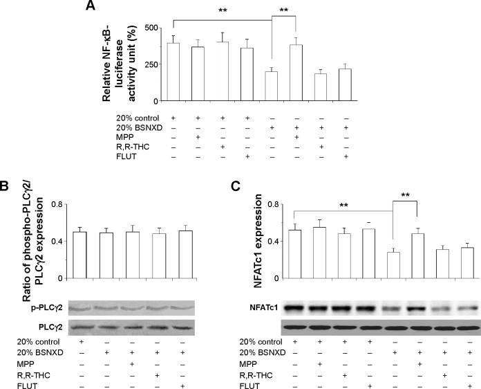 "BSNXD inhibits RANKL-induced NFATc1 accumulation via inhibition of the NF-κB signaling pathway in osteoclast precursor cells through ERα. Notes: ( A ) Treatment with the 20% OVX + BSNXD mid-dose group-derived serum significantly decreased NF-κB-luciferase activity compared with treatment with 20% control serum; pretreatment with the selective ERα antagonist (MPP) but not the ERβ antagonist (R,R-THC) or AR antagonist flutamide (FLUT) blocked the effect induced by the BSNXD-derived serum. ( B ) The ratio of phospho-PLCγ2/total PLCγ2 remained similar during osteoclastogenesis in the different groups. ( C ) Treatment with 20% OVX + BSNXD mid-dose group-derived serum inhibited RANKL-induced NFATc1 expression in osteoclast precursor cells. This effect involved ERα but not ERβ or AR. ""+"" represents containing; ""−"" represents not containing. Data are expressed as means ± SEM (n=10). ** P"