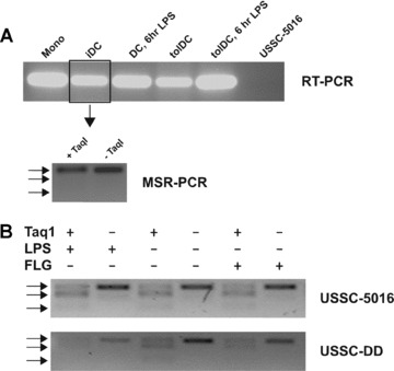 The TNFα promoter is methylated in USSCs. (A) TNFα mRNA was detected by means of non-quantitative RT-PCR in monocytes (Mono), immature DC (imDC), DC stimulated with LPS for 6 hrs (DC, 6-hr LPS), tolerogenic DC (tolDC), tolerogenic DC stimulated with LPS for 6 hrs (tolDC, 6-hr LPS) and USSCs from donor 5016 (USSC-5016). The promoter of TNFα in imDC appeared to be unmethylated, as demonstrated by the resistance of methylation-specific genomic PCR products to Taq I digestion. (B) The TNF-α promoter in USSCs from two different donors (USSC-5016 and -DD) is methylated, as methylation-specific genomic PCR products derived from these cells are sensitive to Taq I digestion, irrespective of LPS or flagellin stimulation for 2 hrs. Arrows indicate full-length (183 bp; upper arrow), 141 bp and 42 bp products.