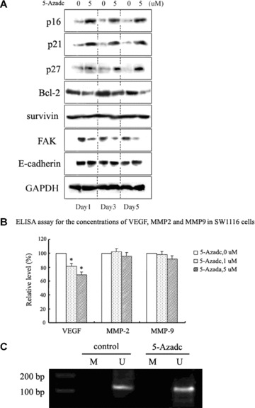 Disruption of JAK2/STAT3/STAT5 signalling by 5-aza-dc is associated with modulation of downstream STAT targets. (A) Western blot analysis of JAK2/STAT3/STAT5 downstream targets in SW1116 cells following 5-aza-dc treatment. Bcl-2 and FAK were down-regulated, while p16 ink4a , p21 waf1/cip1 and p27 kip1 were up-regulated. Survivin and E-cadherin showed no detectable change. The data shown are from a representative experiment and detection of GAPDH was used as a loading control. (B) Concentrations of VEGF, MMP-2 and MMP-9 in SW1116 cells treated with 5-aza-dc were analysed by ELISA 24 hrs after treatment. A decrease in the secretion of VEGF was detected (* p