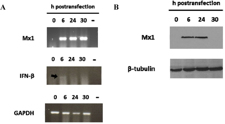Mx1 induction in porcine cells transfected with the 3′NCR RNA. SK6 cells (1 × 10 6 ) were transfected with 20 μg/mL 3′NCR transcripts. Cells were lysed at 0, 6, 24 or 30 h after transfection. ( A ) RT-PCR detection of IFN-β, Mx1 and GAPDH mRNAs in RNA extracted from SK6 lysates. Negative controls (water) were included in the RT-PCR assays; ( B ) Mx1 detection by immunoblot in transfected SK6 cells. Tubulin was used for normalization.