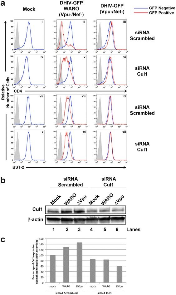 siRNA knockdown of cullin 1 hinders surface downmodulation of CD4, but not BST-2, by Vpu. a HeLa-CD4 cells were transfected twice with pooled control or cullin 1 siRNAs. 4 h post the second transfection, the cells were infected with VSV-G pseudotyped DHIV-GFP (Nef−/Vpu−) or DHIV-GFP WARO (Nef−/Vpu+). Cells were subsequently stained to detect surface levels of CD4 and BST-2 between GFP negative ( blue line ) and GFP positive ( red line ) populations 48 h post infection. Gray shaded histogram represents an IgG matched isotype control. b A portion of cells from a were lysed and subjected to Western blot to determine the knockdown efficiency of cullin 1. c Quantification of cullin 1 normalized to β-actin from b .