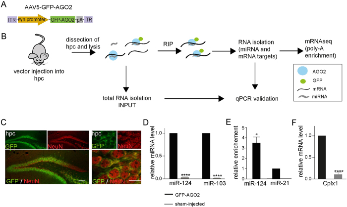 Establishment of neuron-specific RIP in the mouse brain ( A ) Diagram of the AAV5-GFP-AGO2 vector. ( B ) Diagram of the procedure of RNA-interacting protein immunoprecipitation (RIP-seq) ( C ) The expression of GFP-AGO2 is shown in low (left panel) and high (right panel) magnification. Scale bars 100 μm (left panel) and 10 μm (right panel). hpc- hippocampus ( D–F ) RNA from the hippocampus of was analysed using qPCR after RIP. Data are represented as mean ± SEM. ( D ) miRNAs such as miR-124 and miR-103 were detected only in RIP samples where GFP-AGO2 was expressed (****p