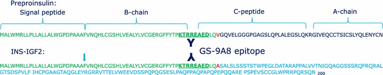 Protein level sequence comparison between unprocessed preproinsulin and the INS-IGF2 fusion protein. The epitope of the proinsulin specific monoclonal antibody GS-9A8 is indicated [ 4 ]. The BO1P antibody also used in this study was raised against the full length INS-IGF2 protein.