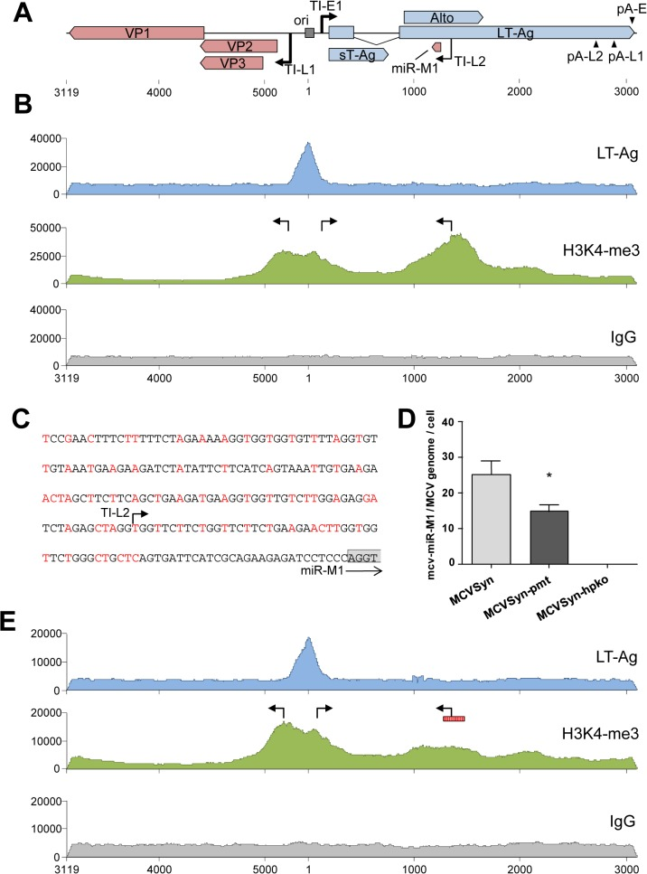 ChIP-seq analysis and miRNA expression in wt and mutated MCVSyn genomes. ( A ) Schematic depiction of the MCPyV genome with polyadenylation and transcriptional initiation sites as identified by RACE analyses. The position of the viral core origin of replication (ori) is marked by a grey box. ( B, E ) ChIP-seq profiles of LT-Ag (top panel, blue), H3K4me3 (center panel, green) or the negative IgG control (bottom panel, grey) along the MCPyV genome in PFSK-1 cells after 4 days of transfection with MCVSyn ( B ) or MCVSyn-pmt ( E ). Positions of early and late transcriptional initiation sites are marked by bent arrows pointing right and left, respectively. The putative promoter region mutated in MCVSyn-pmt is symbolized by a vertically hatched box in E. Graphs depict raw ChIP-seq read coverage; note that absolute read numbers depend on the efficiency of individual immunoprecipitations and thus only the relative coverage distribution along the viral genome is meaningful. ( C ) Mutations in the putative promoter region upstream of the mcv-miR-M1 locus. Substituted nucleotides are shown in red. The positions of the transcriptional initiation site TI-L2 is indicated by an arrow. The first four nucleotides of the mcv-miR-M1 locus are boxed in gray. (D) Quantitative stem-loop RT-PCR evaluation of mcv-miR-M1-5p expression in PFSK-1 cells after 4 days of transfection with MCVSyn (left), MCVSyn-pmt (center), or MCVSyn-hpko (negative control, right). Expression levels were normalized to the number of MCVSyn genomes per cell as determined by qPCR from genomic DNA. Mean values and standard deviations were calculated from three independent experiments. mcv-miR-M1 expression in MCVSyn-pmt is significantly decreased in comparison to MCVSyn (unpaired t-test).