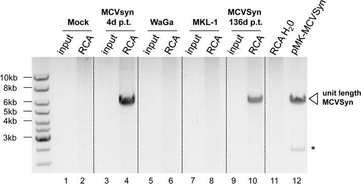 RCA analysis suggests episomal persistence of MCVSyn genomes. Inverted image of a ethidium bromide-stained agarose gel with input material (lanes 1,3,5,7 and 9) or RCA products (lanes 2,4,6,8, 10 and 11) from mock-transfected PFSK-1 cells (lanes 1 and 2), MCVSyn-transfected PFSK-1 cells at 4 days (lanes 3 and 4) or 136 days (lanes 9 and 10) post transfection, the MCC-derived cell lines WaGa or MKL-1 (lanes 5 and 6 or 7 and 8, respectively) or a water control (lane 11). DNA was subjected to restriction enzyme digestion to produce linear, unit-length viral genomes from concatameric RCA products. For size comparison, lane 12 shows unit length MCVSyn genomes excised from plasmid pMK-MCVSyn. The asterisk marks the position of the bacterial pMK plasmid backbone.