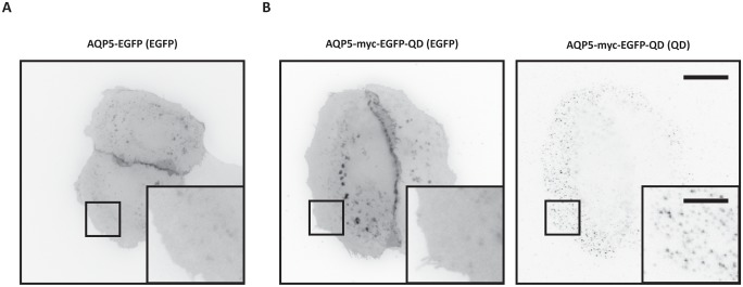 AQP5 expression in MDCK cells. (A-B) Epifluorescent images show the subcellular localization of AQP5 in live MDCK cells. Fluorescence is shown in inverted contrast. (A) Untreated MDCK AQP5-EGFP cells. (B) Untreated MDCK AQP5-myc-EGFP cells labeled with QDs. Insets (boxed areas) highlight the homogenous plasma membrane distribution of AQP5 in the flat portion of the cell. To compare cellular localization, AQP5-EGFP was acquired with 100 ms integration, whereas AQP5-myc-EGFP was acquired with 20 ms integration on a Zeiss <t>Axiovert</t> <t>200M</t> inverted epifluorescence microscope. EGFP images were adjusted to the same minimum and maximum displayed intensity values. Scale bars are 20 μm and 7 μm ( insets ).