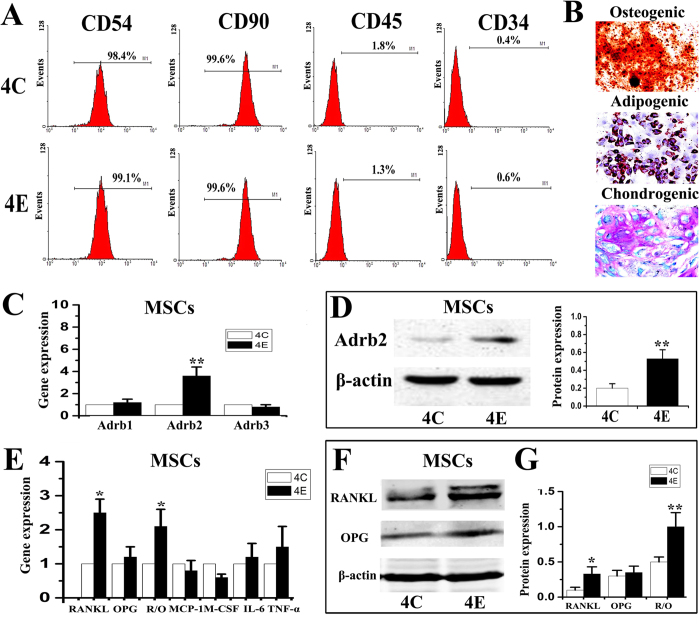 Characterization and multi-lineage differentiation capacity of mesenchymal stem cells (MSCs) isolated from condylar subchondral bone of 4-week control (4C) and 4-week experimental (4E) rats, and comparison of their expression of Adrb1/2/3 and pro-osteoclastic factors. A : Flow cytometry analysis showed that MSCs from control and experimental condylar subchondral bone were similarly positive for MSC-associated markers (CD54 and CD90), and negative for hematopoietic markers (CD45 and CD34). B : Osteogeneic, adipogenic and chondrogenic differentiation of MSCs isolated from condylar subchondral bone. C : Real-time PCR analysis of the mRNA expression of β-adrenergic receptors (β-ARs) in MSCs isolated from condylar subchondral bone of 4-wk control and experimental rats. D : Western blot analysis of the Adrb2 expression in MSCs. E : Real-time PCR analysis of the mRNA expression of pro-osteoclastic factors in MSCs. F : Western blot analysis of the RANKL and OPG expression in MSCs. *P