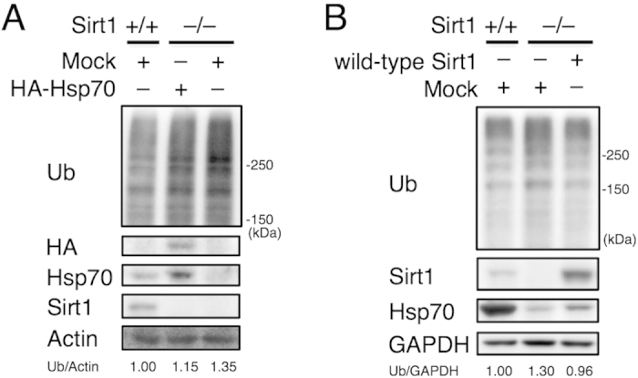 Downregulation of Hsp70 is not the sole cause of aberrant protein quality control in Sirt1 –/– MEFs. ( A ) Immunoblotting of lysates from wild-type and Sirt1 –/– MEFs transfected with empty vector or HA-tagged Hsp70. Values represent the relative band intensities of Ub (normalized to Actin). ( B ) Immunoblotting of lysates from wild-type, Sirt1 –/– , and Sirt1 –/– transfected with wild-type Sirt1 MEFs. Values represent the relative band intensities of Ub (normalized to GAPDH). Uncropped gel images are shown in Supplementary Figure .