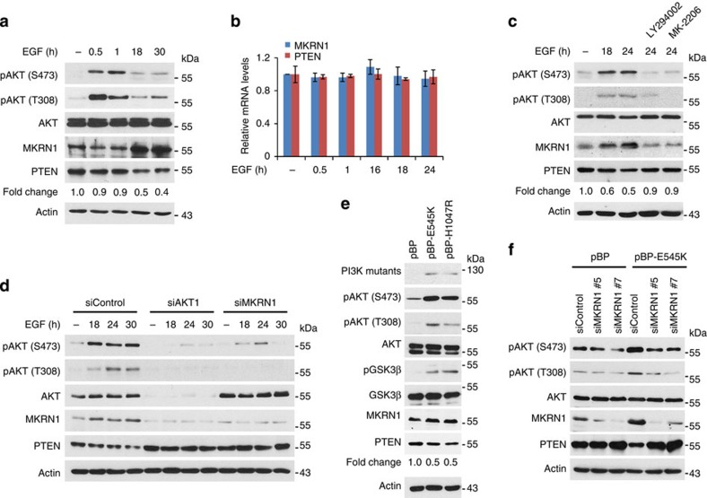 Active AKT induces the up- and downregulation of MKRN1 and PTEN. ( a,b ) EGF-dependent AKT activation stabilizes MKRN1 and destabilizes PTEN. ME-180 cells were serum starved (0.2% serum) for 24 h, treated with 100 ng ml −1 EGF for the indicated time and then analysed by immunoblotting (right panel). Total RNA was purified from EGF (100 ng ml −1 )-stimulated ME-180 cells, and mRNA levels of MKRN1 and PTEN were measured using real-time PCR (left panel; data shown are mean±s.d.; n =3). ( c ) The effect of EGF treatment on the up- and downregulation of MKRN1 and PTEN, respectively, is PI3K/AKT dependent. After serum starvation, ME-180 cells were treated with EGF (100 ng ml −1 ) and LY294002 (PI3K inhibitor) or MK-2206 (1 μM, AKT inhibitor), as indicated. ( d ) EGF-dependent destabilization of PTEN is pAKT/MKRN1 axis dependent. ME-180 cells were transfected with AKT1 siRNA (siAKT1) or siMKRN1 #7, serum starved for 24 h after transfection and subsequently treated with EGF (100 ng ml −1 ) at the indicated time point. Cells were harvested at 72 h post transfection and analysed by immunoblotting. ( e,f ) The constitutively active PI3K mutants up- and downregulate MKRN1 and PTEN, respectively. Immunoblotting of lysates from ME-180 cells stably expressing PIK3CA p110α E545K or H1047R ( e ). ME-180 cells stably expressing PIK3CA p110α E545K were transfected with siMKRN1 #5 or siMKRN1 #7 and analysed by immunoblotting ( f ). ( a,c,e ) Relative PTEN protein expression levels are reported below the corresponding western blot bands.