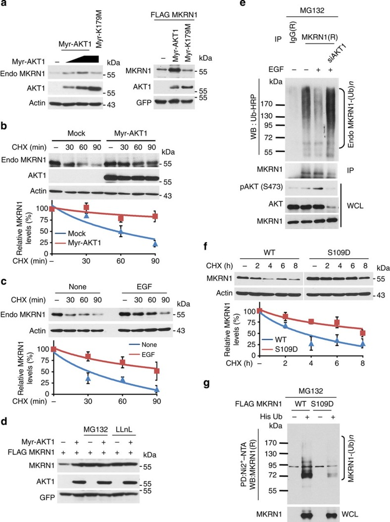 Active AKT induces the stabilization of MKRN1. ( a ) Overexpression of HA-tagged Myr-AKT but not K179M induces increased levels of endogenous MKRN1 or ectopically expressed FLAG-MKRN1 in H1299 cells. ( b ) Myr-AKT stabilizes endogenous MKRN1. H1299 cells were transfected with the indicated plasmid for 24 h and then treated with CHX (100 μg ml −1 ) at the indicated time points. ( c ) The half-life of the endogenous MKRN1 protein was determined in EGF (100 ng ml −1 )-stimulated ME-180 cells. ( b,c ) The amount of MKRN1 was determined using western blotting after normalization to actin. (bottom panel, data shown are means±s.d.; n =3). ( d ) H1299 cells transfected with the indicated plasmid were treated with 10 μM MG132 or LLnL for 4 h. ( e ) EGF-dependent MKRN1 ubiquitination is reduced by AKT ablation. ME-180 cells transduced with siAKT1 were treated with EGF (100 ng ml −1 ), followed by MG132 (10 μM) for 4 h. The lysates were immunoprecipitated using an anti-MKRN1 antibody, followed by immunoblotting with an HRP-conjugated anti-Ub antibody under denaturing conditions. ( f ) The protein half-life of the S109D mutant is longer than that of the WT protein. H1299 cells were transfected with FLAG-MKRN1 WT or S109D and then treated with CHX (100 μg ml −1 ) for the indicated time points. Bottom panel: the graphs indicate the relative amounts of MKRN1 protein compared with the levels of actin in the western blot (data shown are means±s.d.; n =3). ( g ) Ubiquitination status of the S109D mutant. H1299 cells were transfected with the indicated plasmids and then treated with MG132 (10 μM). Cells were lysed in 6 M guanidine-HCl, and ubiquitinated proteins were purified using Ni 2+ -NTA beads. His-purified proteins were detected by immunoblotting.