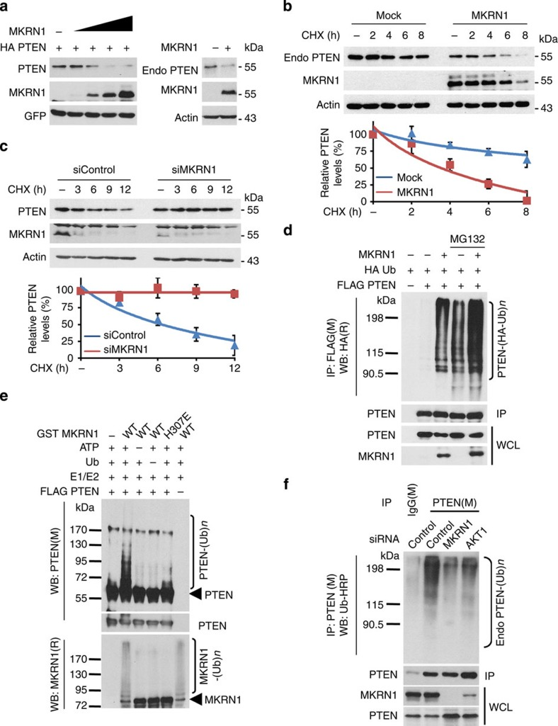 MKRN1 induces the ubiquitination and degradation of PTEN. ( a ) MKRN1 degrades both ectopically expressed PTEN and endogenous PTEN. H1299 cells were transfected with the indicated plasmid. GFP was used as the transfection control. ( b ) MKRN1 overexpression decreases endogenous PTEN stability. H1299 cells were transfected with the MKRN1 expressing plasmid for 24 h and then were treated with CHX (100 μg ml −1 ) at the indicated time points. ( c ) MKRN1 RNAi stabilizes PTEN. ME-180 cells were transduced with siControl or siMKRN1 #7, followed by the addition of CHX at the indicated time points. ( b,c ) The graph represents the values obtained after densitometry analysis. The percentage of the remaining PTEN protein after CHX addition is plotted (bottom panel, data shown are means±s.d.; n =3). ( d ) MKRN1 induces PTEN ubiquitination. To identify PTEN ubiquitination, H1299 cells were transfected with HA-Ub and the indicated plasmids, followed by treatment with MG132 (10 μM) for 6 h. HA-tagged ubiquitinated PTEN was purified by immunoprecipitation using an anti-FLAG antibody in 1% SDS buffer, followed by immunoblotting using an anti-HA antibody. ( e ) In vitro ubiquitination of PTEN via MKRN1. FLAG-PTEN proteins obtained from HEK293T cells using anti-FLAG beads were incubated with E1, E2 and ubiquitin (Ub) in the absence or presence of ATP along with GST, GST-MKRN1 or H307E (bacterially purified), as indicated for the in vitro ubiquitination of PTEN. ( f ) The ubiquitination status of endogenous PTEN upon MKRN1 or AKT1 ablation. Lysates from MKRN1- or AKT1-knockdown and MG132 (10 μM)-treated ME-180 cells were immunoprecipitated with an anti-PTEN antibody, and ubiquitinated PTEN was then immunoblotted using an HRP-conjugated anti-Ub antibody under denaturing conditions.