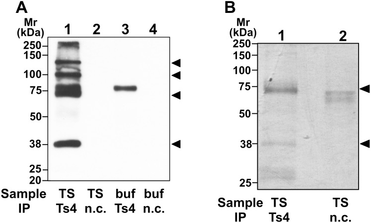 SDS-PAGE analyses of mouse testicular proteins immunoprecipitated with Ts4. Western blot analyses using Ts4 (A). Testicular TS proteins immunoprecipitated with either Ts4 or normal control mouse IgM (n.c.) were separated via SDS-PAGE on 10% gels under reducing conditions. Control experiments were conducted under the same conditions, but in the absence of the testicular extract (buf). Separated proteins were electroblotted onto PVDF membranes and then probed with Ts4. Arrowheads indicate molecular mass (Mr) of the specific immunoreactive bands. Visualized by CBB-staining (B). The same samples were applied to lanes of the 10% SDS-PAGE gel under reducing conditions, and then the gel was CBB-stained. Apparent positions of dominant bands obtained via immunoprecipitation with Ts4 are indicated with arrowheads.