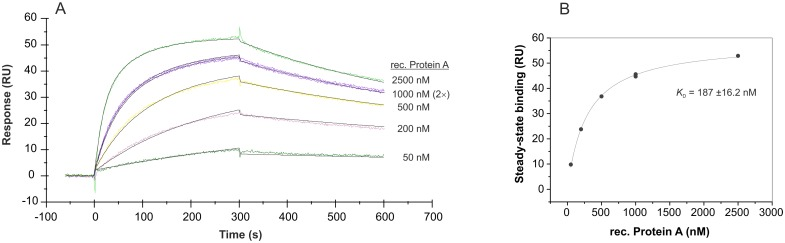 SPR interaction analysis regarding the affinity of the truncated aptamer PA#2/8[S1-58]. Biacore X100 / sensor chip CAP / ligand: 3'-biotinylated truncated aptamer PA#2/8[S1-58] with immobilization level of 1030 RU / analyte: recombinant Protein A with different concentrations (50–2500 nM, 1000 nM in duplicate). Double-referenced sensorgram (A) is shown (reference surface modified with unselected SELEX library, buffer injection). Black lines represent the fit to bivalent analyte binding model. The corresponding plot (B) of steady-state binding from the end of the association phases against analyte concentration is used to calculate the steady-state affinity.