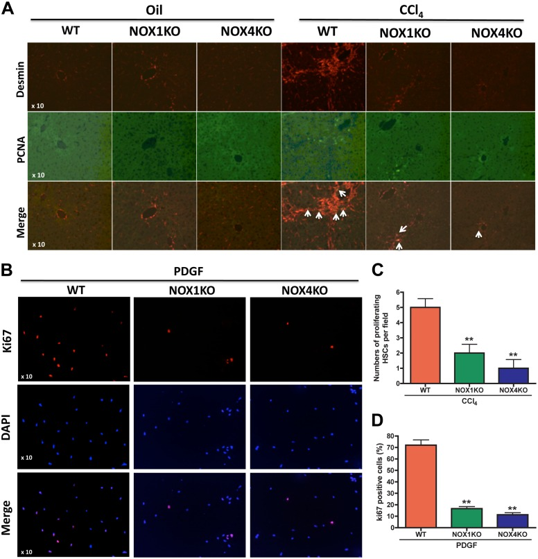 Proliferation of HSCs was reduced by deficiency of NOX1 and NOX4 in response to liver injury and PDGF. (A) HSC proliferation is reduced in NOX1KO and NOX4KO mice after CCl 4 injury. HSC proliferation in liver was presented by <t>PCNA</t> immunofluorescence microscopy. <t>Desmin</t> is a specific marker of HSCs (Red). PCNA is a marker of proliferation (Green). Original magnification X10. (B) Proliferation was reduced in HSCs lacking NOX1 and NOX4 in response to PDGF (10 ng/ml) for 24 h. Proliferative HSCs were presented by Ki67 (Red) immunofluorescence microscopy. Nuclei were presented by DAPI (Blue). Original magnification X10. (C) Graph of PCNA-positive HSCs in vivo. (D) Graph of Ki67-positive HSCs in vitro.