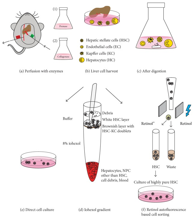 Optimization of the isolation of primary hepatic stellate cells (HSC) based on iohexol density gradient centrifugation and fluorescence-activated cell sorting (FACS) (schematic depiction). In both strategies for cell purification, the mouse is anaesthetized before surgery, and the liver is then perfused via the Vena portae and drained through the Vena cava inferior using a two-step perfusion of the enzymes pronase and collagenase (a). Liver cells are harvested by gently tearing the liver into bits (b), followed by a postdigestion using a combination of both enzymes (c). The liver cells are subjected to iohexol density gradient centrifugation, after which HSC and Kupffer cells are located in the interphase between iohexol and buffer (d). The enriched HSC layer containing HSC, HSC-Kupffer cell doublets, and cellular debris can be used directly for cell culture of HSC (e) or can be cleared from HSC-Kupffer cell doublets and cellular debris using FACS based on the autofluorescence of retinol, using the UV laser of the cell sorter, resulting in highly pure HSC (f).