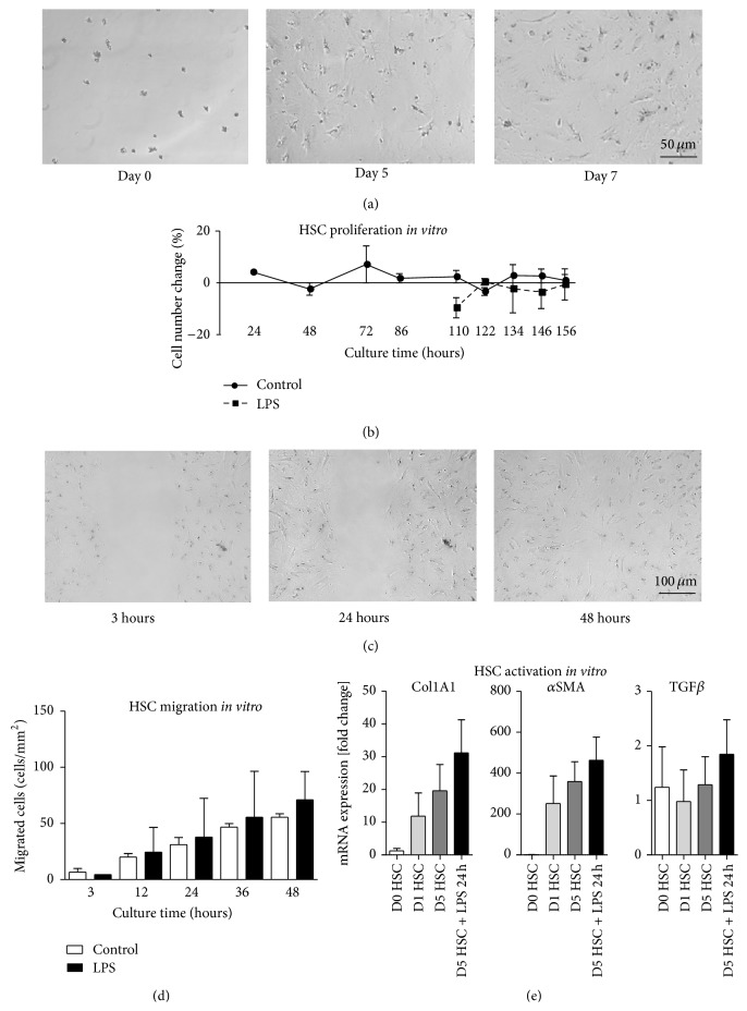 """Hepatic stellate cell functionality in vitro . Hepatic stellate cells (HSC) were isolated from 40-week-old C57BL/6J mice using enzymatic digestion of the liver based on pronase and collagenase, followed by density gradient centrifugation in 8% iohexol and fluorescence-activated cell sorting (FACS). The HSC were cultured in DMEM with 10% fetal calf serum, and some plates were stimulated with lipopolysaccharides (LPS) at 100 ng/mL (after five days of culture) for another 48 hours. Changes in the cell number during culture were determined from time lapse microscopy (a) and statistical summary (b). HSC were cultured for five days on tissue culture-treated polystyrene in DMEM with 10% fetal calf serum including culture inserts for self-insertion (""""scratch assay""""). To start horizontal migration, the plastic inserts were removed and HSC migrated (c) and were quantified using software (d). HSC were cultured for designated periods and quantitative real-time PCR was performed to study the expression of α smooth muscle actin ( α SMA), collagen 1 (Col1A1), or the transforming growth factor β (TGF β ) as markers of HSC activation. Gene expression was normalized to β -actin expression of cells that were lysed directly after isolation at day zero (e). Mean ± SD of three independent experiments."""
