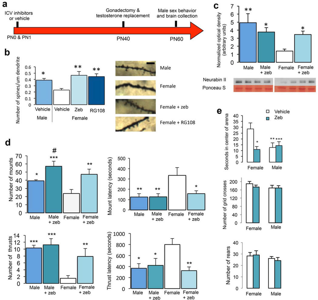 Neonatal Dnmt inhibition increases dendritic spine density on POA neurons and masculinizes behavior (a) Animals were treated with the Dnmt inhibitors Zeb or RG108 on PN0 and PN1. As adults, animals were gonadectomized and implanted with testosterone-releasing capsules to achieve stable adult male circulating testosterone levels. Male sexual behavior was assessed 20 days later and brains were collected at the completion of behavioral testing. ( b ) Golgi-Cox impregnated adult POA neurons were quantified for dendritic spine density. Neonatal Dnmt inhibition by either Zeb or RG108 in females masculinized dendritic spine density of adults (ANOVA, F(3,22) = 4.92, p = 0.0091). Scale bar = 10 µm (c ) Zeb treatment on PN0 PN1 significantly increased <t>Neurabin</t> II protein levels in the adult female POA (F(3,32) = 4.69, p = 0.0079). Cropped representative western bands are shown and full length blots are provided in Supplementary Figure 10 . ( d ) Neonatal Zeb treatment increased mounts (F(3,25) = 22.18, p