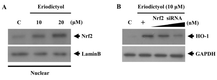 Nrf2 nuclear translocation induced by eriodictyol. ( A ) Cells were treated with 10 and 20 μM eriodictyol at the indicated concentrations for 4 h. Nuclear extracts were subjected to Western blot, using an anti-Nrf2 antibody and anti-lamin B antibody (a marker of nuclear protein); and ( B ) Transient transfection of cells with increasing doses of Nrf2-specific siRNA (10 and 20 nM) reduced HO-1 expression. Western blots representative of three independent experiments are shown: C, untreated cells; +, eriodictyol treatment only; , dose increasing.