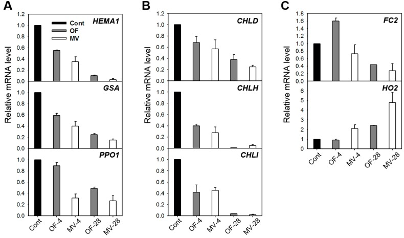 Expression of genes encoding the porphyrin pathway enzymes in rice plants with the foliar application of MV. ( A ) Common branch; ( B ) Mg-porphyrin branch; and ( C ) Fe-porphyrin branch. The plants were subjected to the same treatments as in Figure 2 . Treatment notations are the same as in Figure 2 . Total RNAs were purified from plants and reverse transcribed. The resultant cDNAs were used as templates for qRT-PCR using Actin as an internal control. The control 1 was used for normalization, with the expression level of the sample set to 1. Error bars represent SE, and representative data from three independent experiments are presented.
