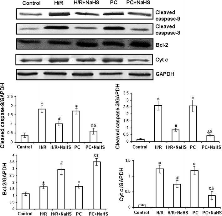 Expression of Bcl-2, cleaved caspase-3 and cleaved caspase-9, cytosolic Cyt c in the d- galactose age-induced primary cultured neonatal cardiomyocytes by western blot analysis. The intensity of each band was quantified by densitometry, and data were normalized to the GAPDH signal. All data were from four independent experiments. *p