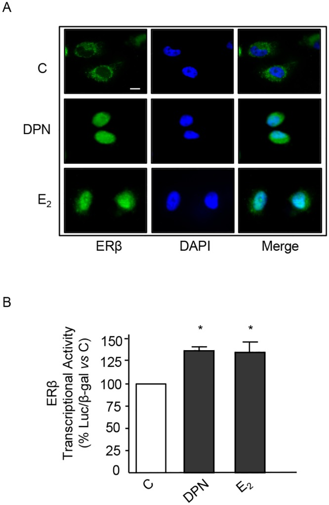 ERβ ligands trigger cytoplasmic-to-nuclear translocation of ERβ and induce its transcriptional acitivity in BLM melanoma cells. (A) Immunofluorescence assay of ERβ intracellular localization. In control BLM melanoma cells, ERβ is mainly localized at the cytoplasmic level. Treatment of the cells with either DPN or E 2 (10 −8 M, for 24 h) induces ERβ translocation into the nucleus. A representative picture from three experiments done independently, which gave the same results, is reported. (B) The transcriptional activity of the ERβ protein in BLM cells was analyzed using the pVERE-tk-LUC plasmid (cotransfected with pCMVβ). The results were normalized for β-galactosidase activity. Treatment of the cells with either DPN or E 2 (10 −8 M, for 24 h) significantly increased ERβ transcriptional activity. Each experimental group consisted of three replicates and each experiment was repeated three times. Data represent mean values ± SEM. * P