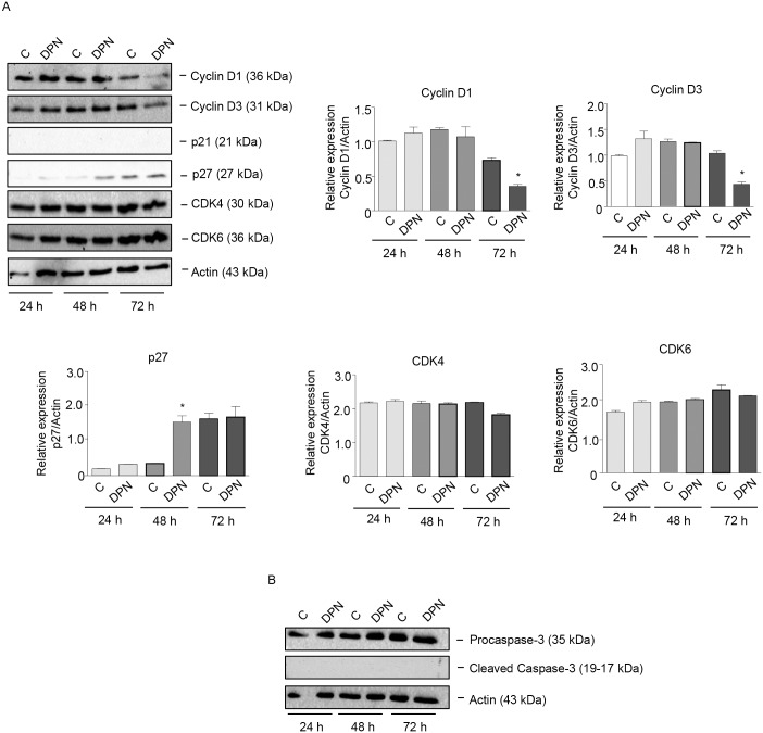 The specific ERβ ligand DPN affects the expression of cell cycle-related proteins in BLM melanoma cells. BLM cells were treated with DPN (10 −8 M) for 24, 48, or 72 h. Western blot analysis was performed on whole cell extracts by using specific antibodies against cell cycle-related proteins, such as cyclin D1, cyclin D3, p21, p27, CDK4, CDK6 (A) , procaspase-3 and cleaved caspase-3 (B) . Actin expression was evaluated as a loading control. The treatment with DPN reduced the expression of cyclin D1 and cyclin D3 and increased that of p27, while the levels of cleaved (active) caspase-3 were not affected by the treatment. One representative of three different experiments, which gave similar results, is shown. A statistical evaluation has been performed on the densitometric analysis of the results obtained from the three Western blot experiments performed on cell cycle-related proteins (A) .