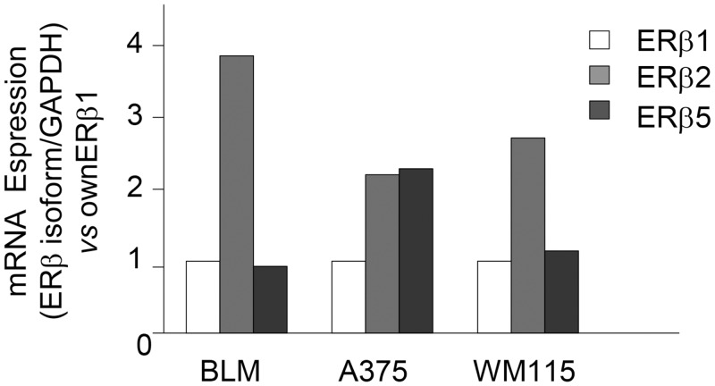 <t>ERβ</t> isoforms (1, 2, and 5) are differentially expressed in melanoma cell lines. The relative expression of ERβ1, 2, and 5 isoforms was evaluated by quantitative RT-PCR, utilizing specific sets of primers. BLM and WM115 cells showed a similar expression of ERβ1 and 5, while expressing higher levels of ERβ2. On the other hand, a high expression of both ERβ2 and 5 isoforms (when compared to ERβ 1) was observed in A375 cells. One representative of three different experiments, which gave similar results, is shown.