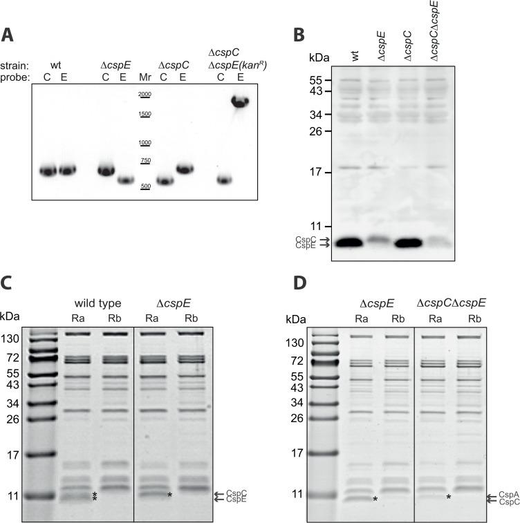 Characterization of CspE-, CspC-, and CspC/E deleted cells. (A) PCR analysis of the cspE and cspC in E . coli Δ cspE , Δ cspC , or Δ cspC Δ cspE :: kan R . (B) Western blot analysis with anti-CspE antibodies of total extracts from wild type and the deleted E . coli strains. (C) (D) In vitro synthesized biotinylated Ra or Rb were incubated with S300 fractions of wild type E . coli or E . coli Δ cspE , or E . coli Δ cspE Δ cspC in the presence of 2 mM Mg 2+ . The RNA-protein complexes were purified by streptavidin beads, eluted with SDS buffer and separated by tris-tricine SDS-PAGE. The gels were stained with Instant blue.