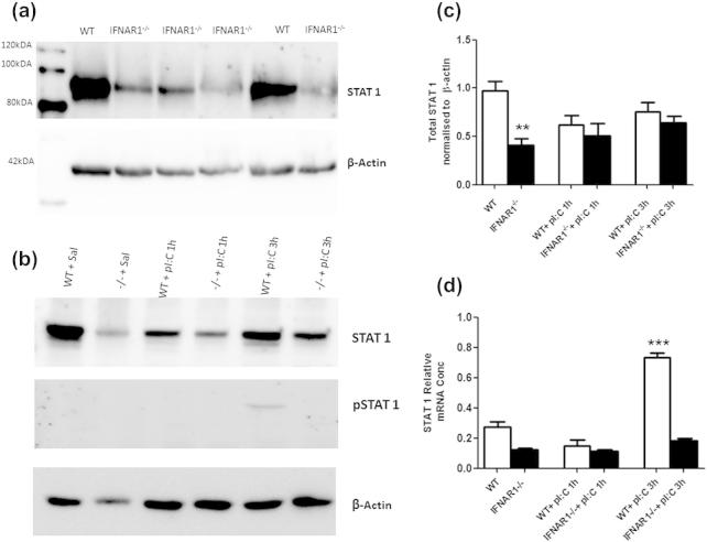 Expression of total and phosphorylated STAT1 in WT and IFNAR1 −/− mice. Western blot of basal STAT1 in WT and IFNAR1 −/− hippocampal homogenates (a). Western blot analysis of STAT1 and phosphorylated STAT1 in WT and IFNAR1 −/− mice post-poly I:C challenge at 1 and 3 h (b). Quantitative histogram of basal STAT1 in WT and IFNAR1 −/− mice and levels of STAT1 at 1 and 3 h post-poly I:C (c). Significant differences by Students t test are denoted by ∗∗ p = 0.0015. Expression of stat1 mRNA (d). Data are expressed as mean ± SEM and analysed by two-way ANOVA with treatment and strain as factors; n = 5 for WT + saline, n = 4 for WT + pI:C 1 h, n = 5 for WT + pI:C 3 h and n = 5 for IFNAR1 −/− + saline, n = 4 for IFNAR1 −/− + pI:C 1 h, n = 5 for IFNAR1 −/− + pI:C 3 h. Significant main effect of treatment by Bonferroni post-hoc is denoted by ∗∗∗ p
