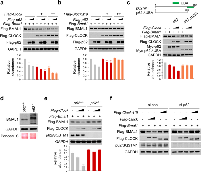 CLOCK and CLOCKΔ19 differentially regulated BMAL1 degradation in a p62-dependent manner. ( a , b ) <t>293T</t> cells transfected with expression vectors for Flag-BMAL1, Flag-CLOCK, Flag-CLOCKΔ19, and Flag-p62 were lysed and subjected to immunoblotting analysis with antibodies against anti-Flag and GAPDH (loading control). ( c ) Schematic representation of p62 constructs employed were Myc-tagged WT p62; full-length p62 (amino acids 1 to 440), and p62 ΔUBA, a construct missing the UBA domain (amino acids 386 to 440) (upper panel). 293T cells transfected with expression vectors for Flag-BMAL1, Flag-CLOCK, Flag-CLOCKΔ19, and Myc-p62 (WT or ΔUBA) were lysed and subjected to immunoblotting analysis with antibodies against anti-Flag, anti-Myc and GAPDH (loading control). ( d ) Protein lysates were prepared from p62 +/+ (WT) and p62 − / − MEF cells and subjected to immunoblotting analysis of BMAL1 and GAPDH. Ponseau S staining of the membrane following transfer was carried out as an additional loading control. ( e ) MEFs ( p62 +/+ or p62 − / − ) expressing Flag-BMAL1 and Flag-CLOCK were lysed and subjected to immunoblotting analysis with antibodies against anti-Flag, p62, and GAPDH (loading control). ( f ) 293T cells were transfected with indicated expression vectors in the presence of negative control or p62 <t>siRNA</t> for 48 h and then immunoblotted with the indicated antibodies. The relative levels of the targeted proteins were estimated by densitometry using the ImageJ program and the ratios were calculated relative to the GAPDH control. The data represent the mean ± SD of three independent experiments.