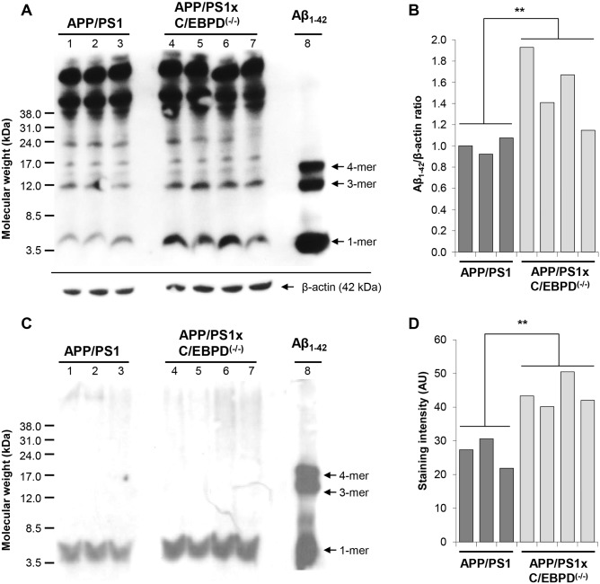 Western blot detection of Abeta in brain extracts from APP/PS1 and APP/PS1 x C/EBPD (-/-) mice. Abeta protein loads in PBS-soluble ( A ) and formic acid-soluble ( C ) brain extracts detected using the 6E10 antibody at 9 months of age. Synthetic Abeta1-42 peptide served as additional size marker. ( B and D ) Densitometric quantification of monomeric Abeta band intensities from ( A ) and ( C ), respectively (**p