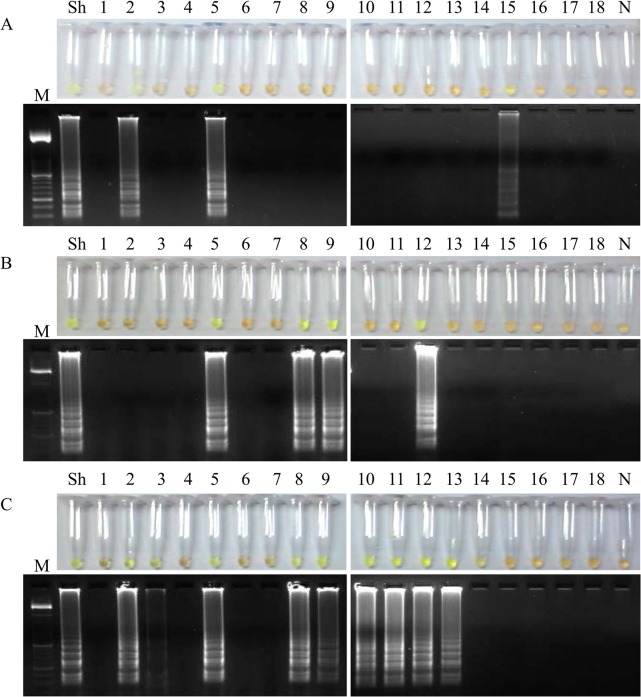 Examination of aliquots of supernatants from S . haematobium -positive patients´ urine samples by LAMP. Figure shows the LAMP results (up, by color change; down, by agarose electrophoresis) when using aliquots of 100 μL of supernatants to obtain DNA as template by using (A) the i-genomic Urine DNA Extraction Mini Kit (Intron Biotechnology, UK); (B) the heating NaOH-SDS method and (C) the rapid heating method. Lanes M: 50 bp DNA ladder (Molecular weight marker XIII, Roche); lanes Sh: genomic DNA from S . haematobium (1 ng); lanes 1–18: S . haematobium -positive samples; lanes N: negative controls (no DNA template).