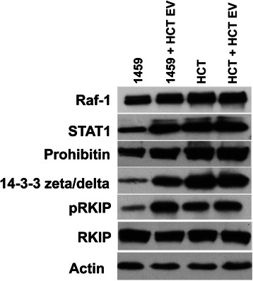 Extracellular vesicle mediated changes in cellular protein expression. EVs were isolated from malignant HCT116 cells. EVs were resuspended in PBS and co-cultured with non-malignant 1459 cells and malignant HCT116 cells. Upon completion of the 7-day co-culture, whole cell lysates were prepared for Western blot analysis, as reported. Western blot analysis results show and increased expression of Raf-1, pRKIP, STAT1, Prohibitin and 14-3-3 zeta/delta in 1459 + HCT116 EV co-cultures, as compared to 1459 control. A slight decrease expression of RKIP is also shown in this comparison. We examined these proteins based on LC-MS data (Table 1 )