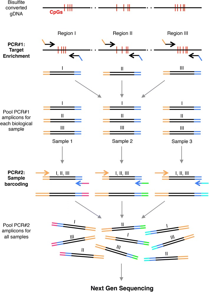 Schema of BisPCR 2 method for targeted bisulfite sequencing. DNA sequencing libraries are prepared by bisulfite conversion of genomic DNA followed by two rounds of PCR for target enrichment (PCR#1) and subsequent sample barcoding (PCR#2). Partial adapter overhangs are added to target enrichment primers to permit simplified library preparation by PCR. PCR#1 amplicons are pooled prior to the PCR#2 reaction for each biological sample. Due to the presence of the unique barcodes, all PCR#2 amplicons can be pooled for a single next-generation sequencing run.