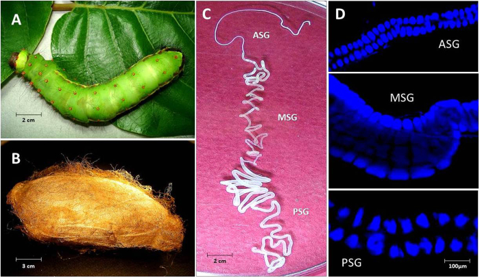 Antheraea assama  (Saturniidae) larva, cocoon and silk gland. ( A ) Pre-spinning V instar feeding larva (about 8 cm long). ( B ) Golden silk cocoon (chrysalis, about 5 cm long). ( C ) One in a pair of silk glands (about 30 cm long) dissected from V instar pre-spinning larva of  A. assama , placed in a Petri plate with 1X PBS. It shows features of a typical lepidopteron silk gland with three distinct regions: ASG (Anterior Silk Gland), MSG (Middle Silk Gland), and PSG (Posterior Silk Gland). ( D ) Fluorescent micrographs of portions of ASG, MSG and PSG of II instar larval silk gland showing stacks of paired glandular epithelial cells (DAPI stained) that makeup the cross-sectional circumference of silk gland.