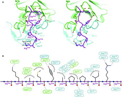 Details of the epitope binding in the Fab R53/epitope complex. ( A ) A stereo view of the antigen-binding site. The side chains of the key residues involved in hydrogen bonding and van der Waals interactions (with contact areas greater than 10 Å 2 ) are shown in sticks. Note that (i) three tyrosines and four negatively charged residues in R53 play a key role in binding the epitope, (ii) C4 residue Arg P440 interacts with two acidic residues Asp L30 and Glu L31 from the light chain, and (iii) the side chain of C4 residue Tyr P435 engages in van der Waals stacking with the antibody backbone, and its hydroxyl group forms a hydrogen bond with the side chain of Gl u H56 of the heavy chain. ( B ) A schematic of the antigen–antibody interaction. Hydrogen-binding interactions are indicated by dashed lines between the residues, whereas van der Waals contacts are indicated by eyelashes. Residues in solid ovals contribute to the interaction by their main chain atoms, and those in dashed ovals contribute to the interaction by their side chain atoms.