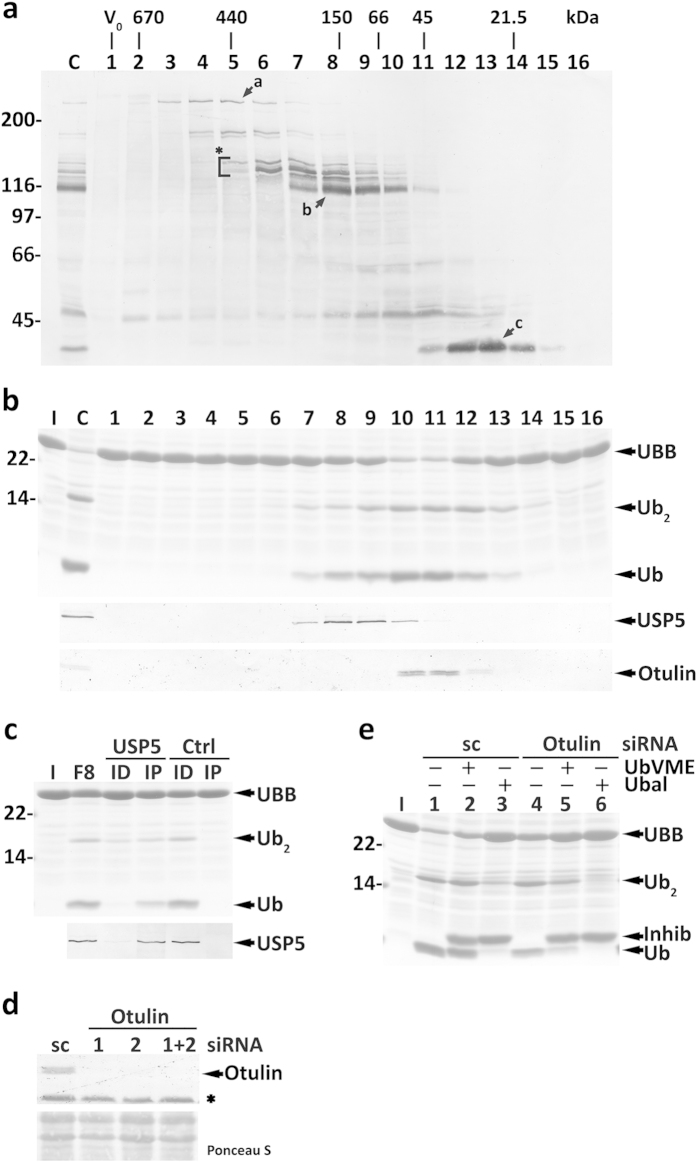 Characterization of HeLa cells cytosolic DUBs acting on human UBB. ( a ) Total cytosolic proteins (lane C) and the corresponding SEC fractions (lanes 1–16) were reacted with HA-UbVME and analyzed by SDS-PAGE/western blot with an anti-HA antibody. The asterisk and arrows a-c indicate HA-UbVME-reactive DUBs that co-elute with enzyme activities described in the main text. The elution positions of molecular mass protein standards, as well as the void volume (V 0 ), are indicated. ( b ) SDS-PAGE/Coomassie blue staining analysis of UBB processing by SEC fractions (upper panel). Lane C, total cytosolic proteins were also assayed. The elution profiles of USP5 (middle panel) and Otulin (lower panel) are also shown. ( c ) Fraction 8 from SEC was subjected to an immunoprecipitation/immunodepletion assay using control (lanes Ctrl) or anti-USP5 IgGs (lanes USP5). Fraction 8 (F8) and the corresponding immunoprecipitated (lanes IP) and immunodepleted fractions (lanes ID) were assayed for UBB processing activity (upper panel). The distribution of USP5 in the samples is shown (lower panel). ( d ) Otulin knockdown in HeLa cells. Western blot analysis of Otulin in HeLa cells transfected with Otulin-specific siRNA oligos #1 and/or #2, or with a scrambled (sc) control. The asterisk indicates a protein recognized by the anti-Otulin antibody in total homogenates, but not in cytosolic fractions. The corresponding Ponceau S-stained membrane is shown to assess protein loadings. ( e ) OTULIN knocked-down HeLa cell total extracts have decreased HA-UbVME-insensitive UBB processing activity. Inhib, HA-UbVME or HA-Ubal. In ( b , c , e ) the cleavage intermediate (Ub 2 ), and ubiquitin (Ub) are indicated. Lanes I, recombinant UBB used in the assays. In ( a – c , e ) numbers to the left indicate the molecular weights of protein standards in kDa.